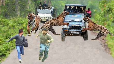 Tiger Attack On Tourist Vehicle In India's Bannerghatta Biological park
